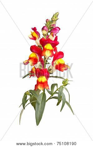Yellow, Red And Orange Snapdragon Flowers Isolated On White