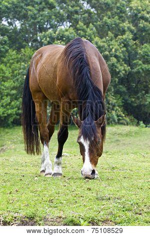 Brown Horse With White Markings Grazing