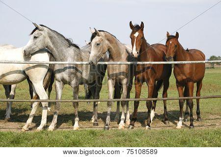 Nice arabian mares looking over corral door
