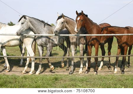Thoroughbred youngsters standing in the corral gate