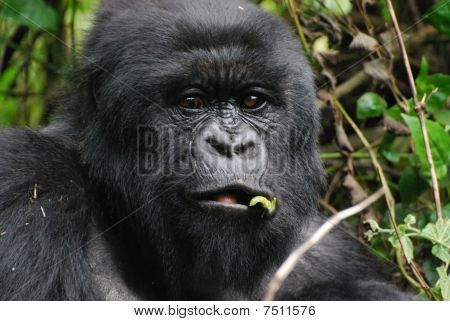 Gorilla Eating Bamboo Shoot