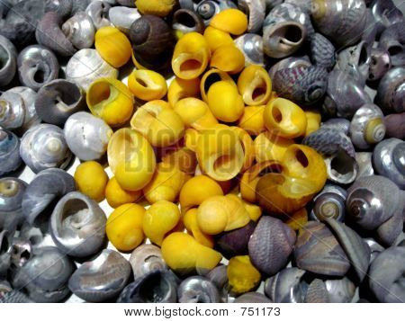 yellow periwinkles