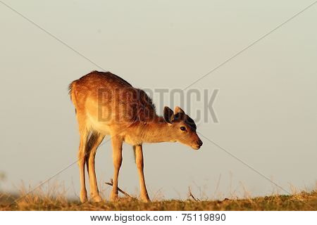 Fallow Deer Calf In Beautiful Light