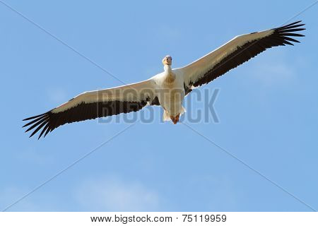 Great Pelican With Open Wings