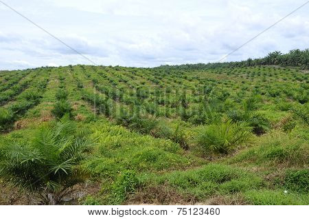 Palm Oil tree in palm oil estate