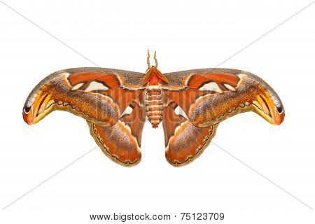 Top View Of Male Attacus Atlas Moth