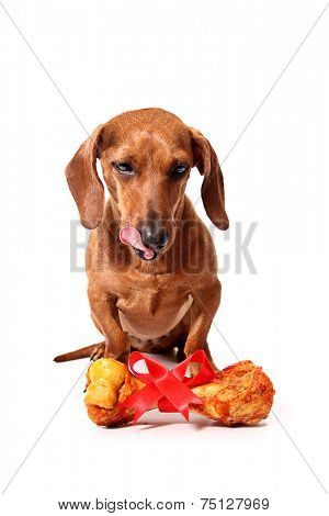 A dachshund dog with a delicious gift bone on white background.