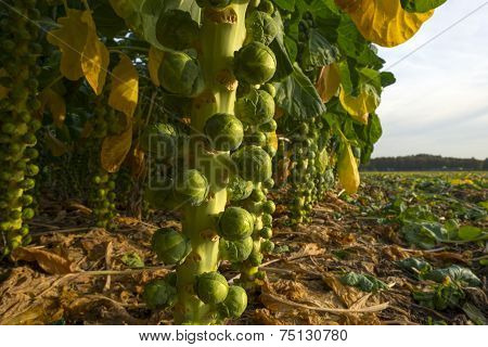 Brussels sprout growing in a field at fall