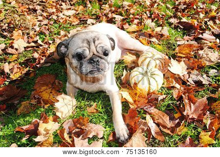 A Blind Pug Enjoying The Fall Sunny Weather
