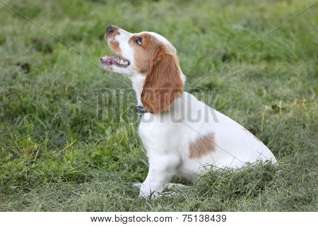 Sitting red and white puppy of spaniel