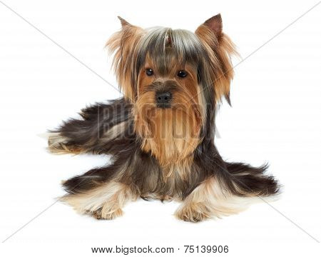 Yorkie With Bang Of Hair