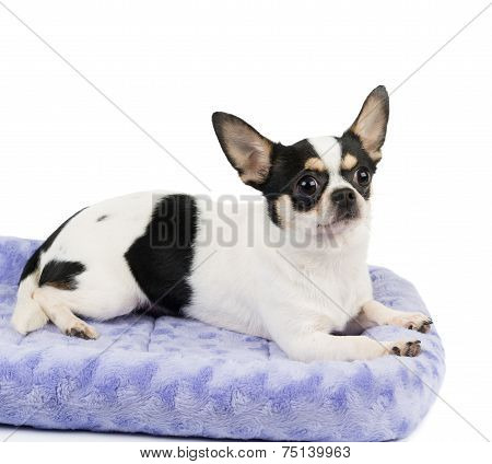 Chihuahua On Pet Bed