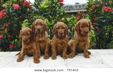 Four irish setter puppies