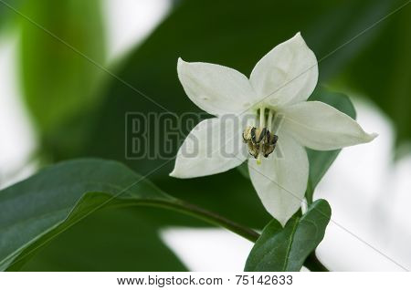 Bird's Eye Chili Flower - Capsicum Frutescens