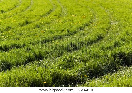 Farm with young Wheat and furrows of tractor