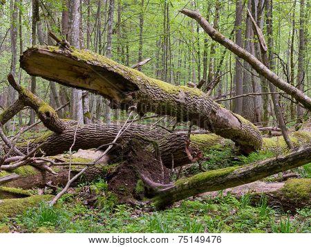 Old Ash Tree Broken Lying In Springrtime Forest
