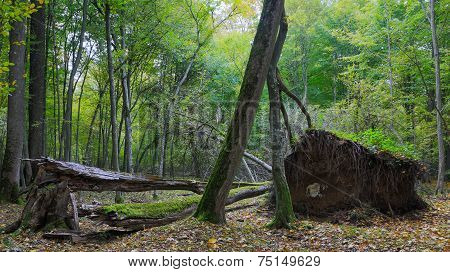 Deciduous Stand With Broken Tree