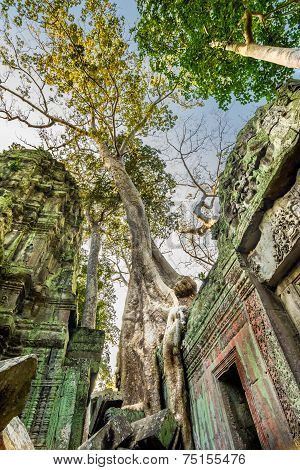 Tree grown over Ta Prohm temple, Cambodia