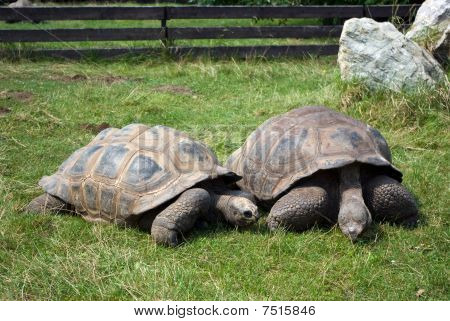 Two Giant Tortoises