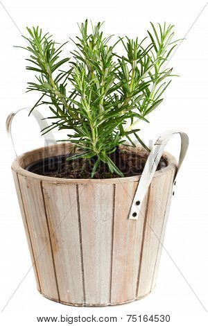Rosemary In Planting Pot On White