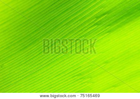 Bird's Nest Fern Leaf