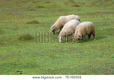 three sheeps grazing in Vermosh, Albania