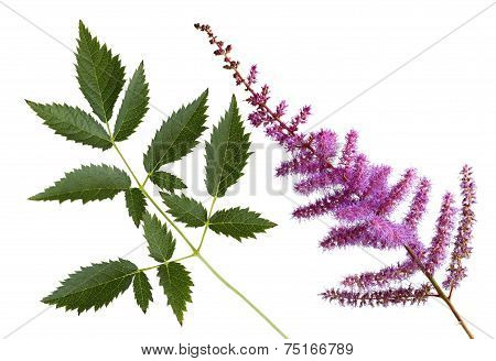 False Spirea Flower