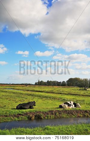 The picturesque green meadows crossed by blue channels. Corpulent cows have a rest and are grazed on meadows. Dutch pastoral