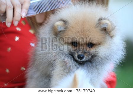 Cute Pet, Puppy Pomeranian Grooming Dog