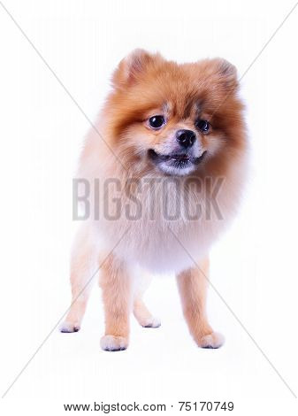 Pomeranian Puppy Dog Grooming Lion Design Isolated On White Background, Cute Pet Indoor
