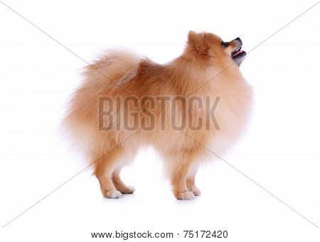 Cute Pet, Brown Pomeranian Grooming Dog Isolated On White Background
