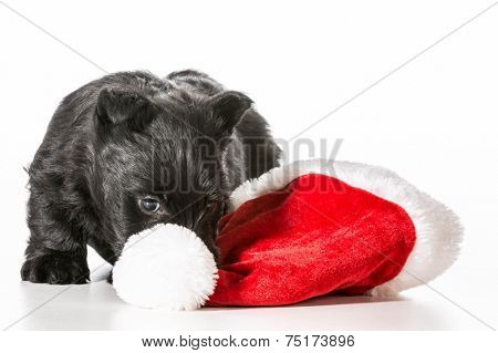 christmas puppy - scottish terrier puppy tugging on santa hat isolated on white background