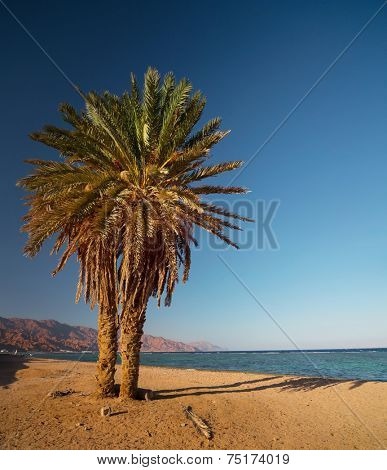 Palm tree on sandy beach in the town of Dahab. Egypt