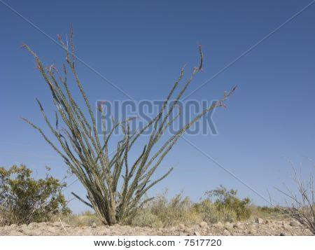 Blooming Ocotillo Cactus