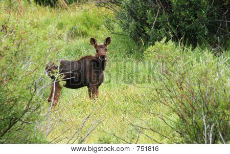 Baby Moose (Calf)