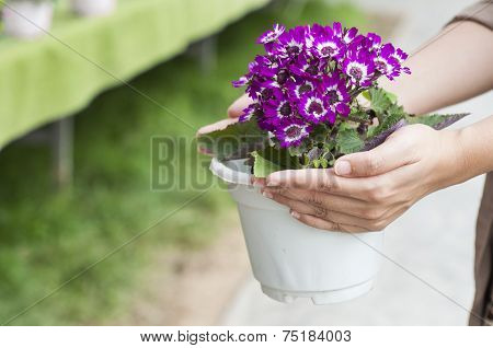 Hand Holding Up Spring Daisy Flower ( Bellis Perennis ) In A Flower Pot