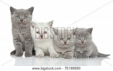 British Kittens On White Background