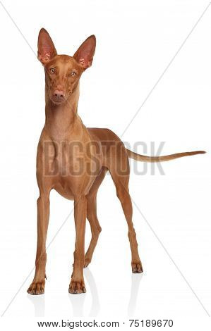 Pharaoh Hound On White