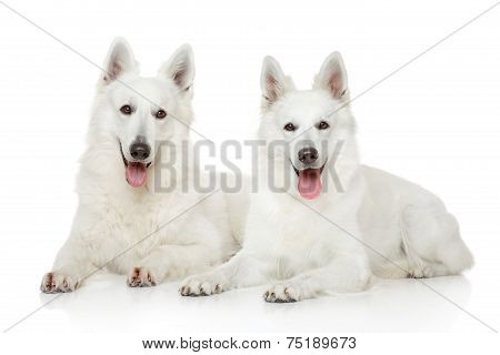 Two White Swiss Shepherd Dogs