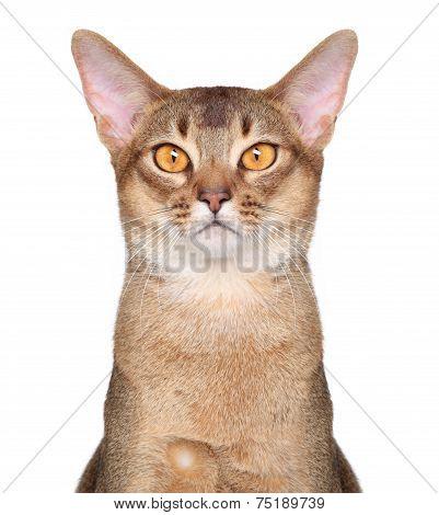 Abyssinian Cat Portait
