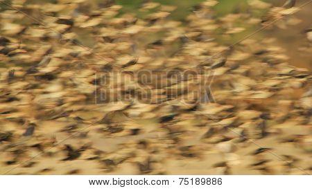 Red Billed Quelea - African Wild Bird Background - Flight of Thousands