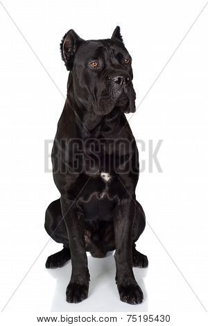 black cane corso dog on white
