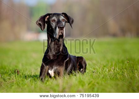 giant black dane dog outdoors