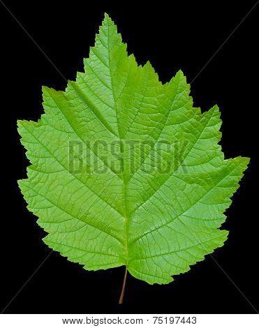Leaf Of Alder