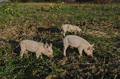foto of piglet  - Piglets eat the fresh grass and dig root about in the meadow - JPG