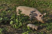 picture of piglet  - Biological sow and her piglets eat the fresh grass in a meadow - JPG