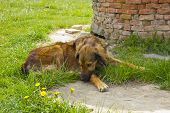 picture of mongrel dog  - Brown mongrel brown dog resting in the garden  - JPG