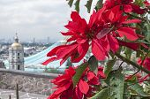 stock photo of guadalupe  - Beautiful red poinsettias growing on Tepeyac Hill with the Basilica of Our Lady of Guadalupe in background - JPG