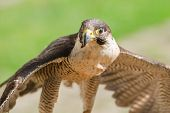 stock photo of small-hawk  - Small but fast predator wild bird falcon or hawk with spread wings close up shot - JPG