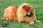pic of chow-chow  - Brown friendly chow - JPG